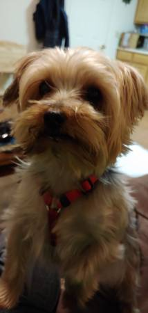 Missing Yorkie (Canandaigua)
