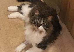 Missing Kitty (Pardee Hill / Druid Hill Irondequoit)