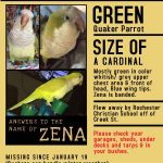 LOST QUAKER PARROT (Penfield, NY)