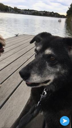 Missing Husky and Australian Shepherd mix (Around Jefferson Avenue area)